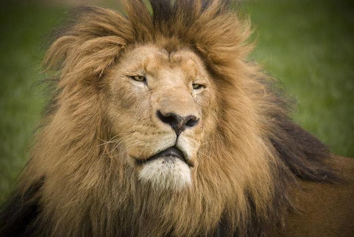 Lory Park Zoo Lion Skrik
