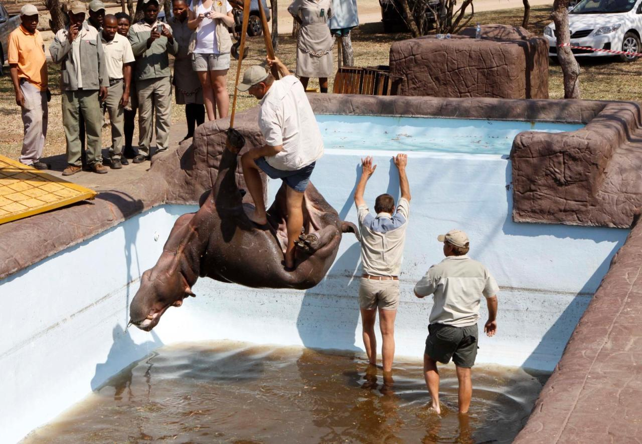Solly the Swimming Pool  Hippo dies during rescue operation